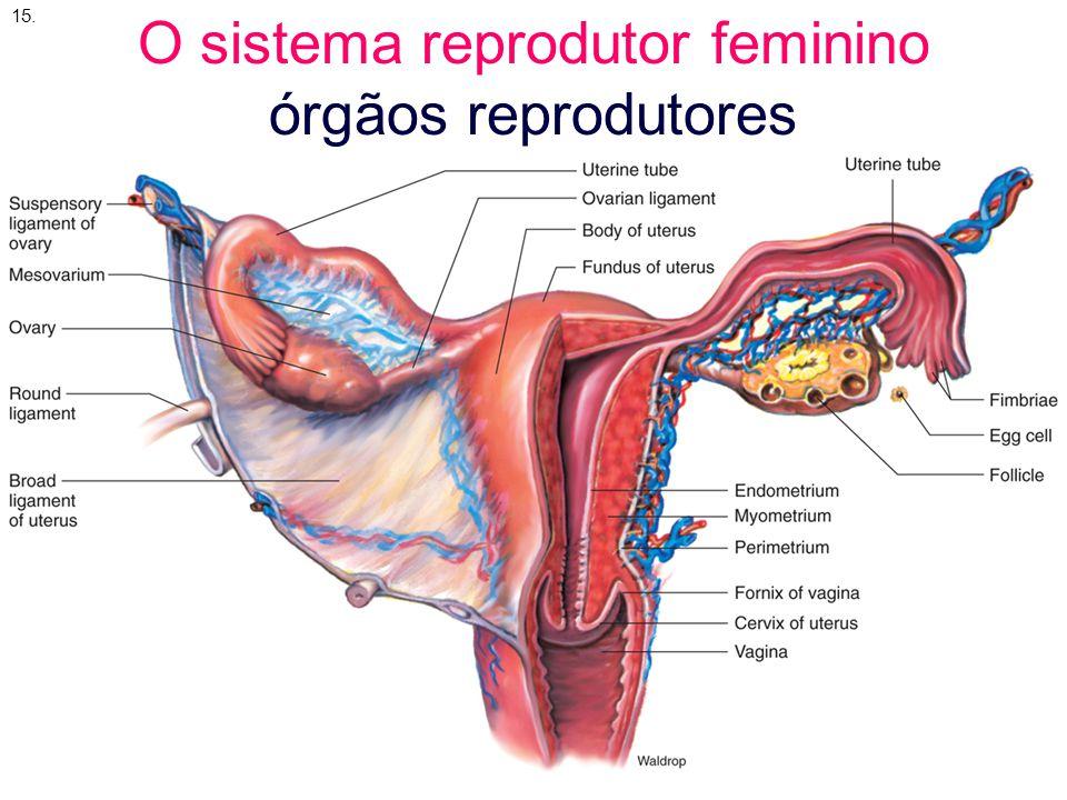 Organelas ovarianas Folículos primário e secundário extraído, enquanto disponível, de: http://www.tyler.cc.tx.us/Science/images/reproduction/60femalex.jpg http://www.tyler.cc.tx.us/Science/images/reproduction/60femalex.jpg