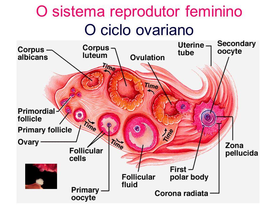 Organelas ovarianas Corpo lúteo extraído, enquanto disponível, de: http://www.tyler.cc.tx.us/Science/images/reproduction/60femalex.jpg http://www.tyler.cc.tx.us/Science/images/reproduction/60femalex.jpg