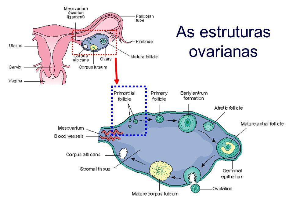 Organelas ovarianas Folículo secundário extraído, enquanto disponível, de: http://www.tyler.cc.tx.us/Science/images/reproduction/60femalex.jpg http://www.tyler.cc.tx.us/Science/images/reproduction/60femalex.jpg
