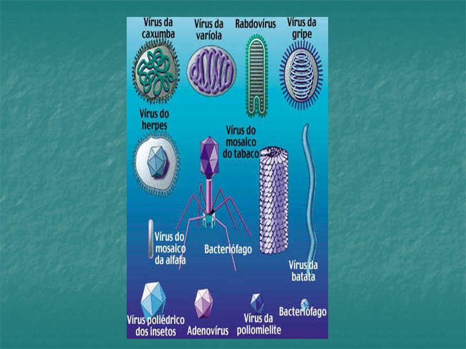 AIDS Tratamento:  vacinação ineficaz  alta capacidade de mutação viral  drogas inibidoras de enzimas que atuam no ciclo viral  ex: AZT, 3TC, DDI e DDC (inibem a transcriptase reversa) Ex: outros inibem a protease Coquetel de drogas!!!.