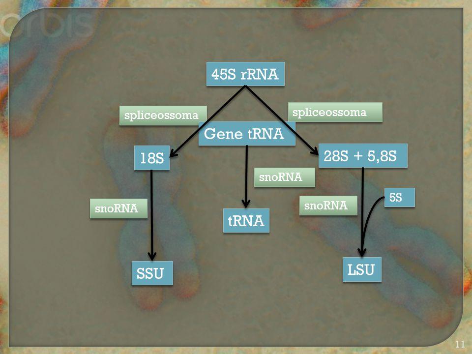45S rRNA 18S 28S + 5,8S SSU LSU 5S spliceossoma snoRNA Gene tRNA snoRNA tRNA 11