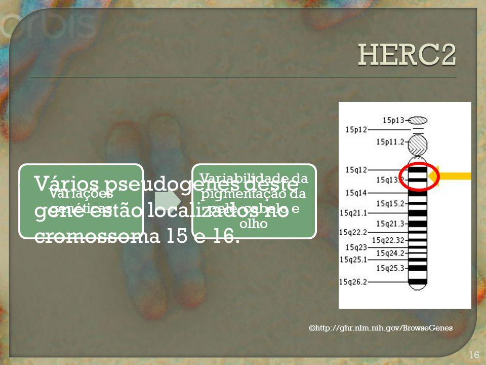 Variações genéticas Variabilidade da pigmentação da pele, cabelo e olho  Vários pseudogenes deste gene estão localizados no cromossoma 15 e 16.