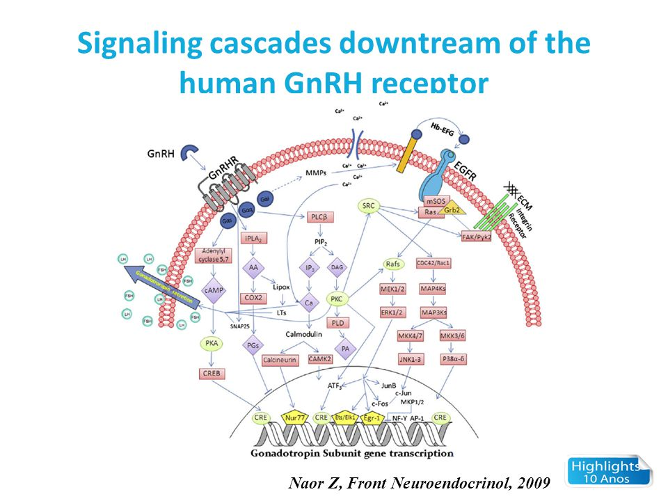 Signaling cascades downtream of the human GnRH receptor Naor Z, Front Neuroendocrinol, 2009
