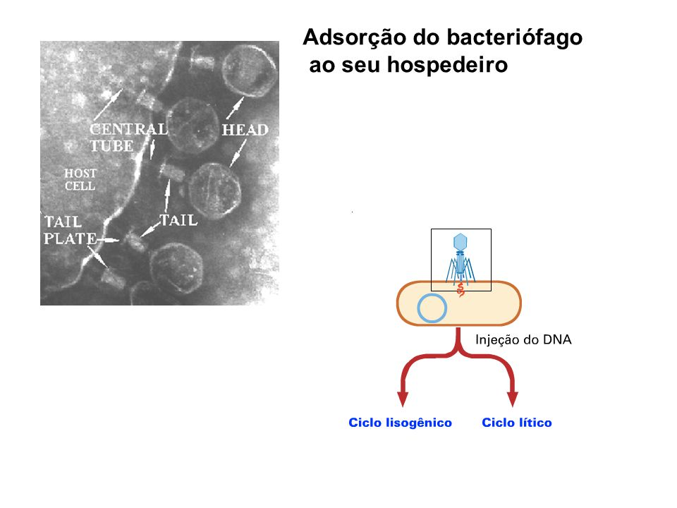 Adsorção do bacteriófago ao seu hospedeiro