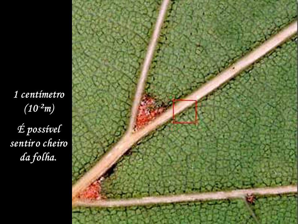 10 centímetros (10 -1 m) Pode-se tocar nas folhas.