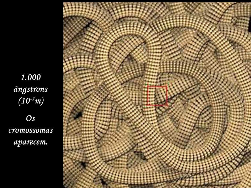 1 micron (10 -6 m). O núcleo da célula já fica visível.