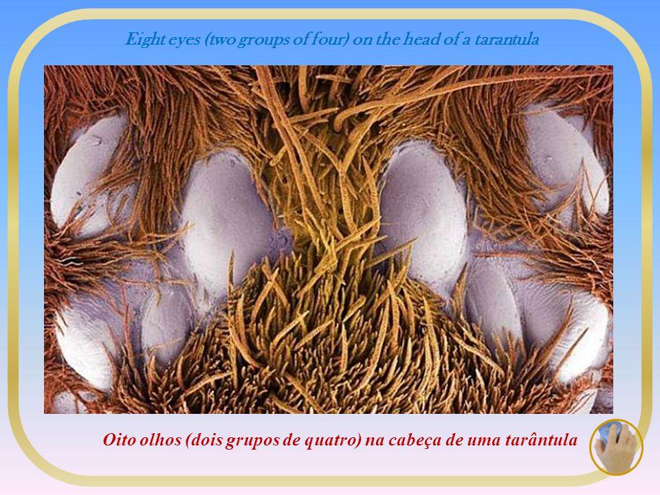 Eight eyes (two groups of four) on the head of a tarantula Oito olhos (dois grupos de quatro) na cabeça de uma tarântula