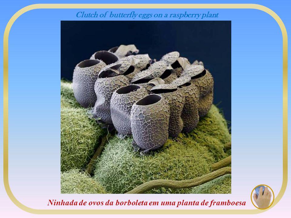 Clutch of butterfly eggs on a raspberry plant Ninhada de ovos da borboleta em uma planta de framboesa