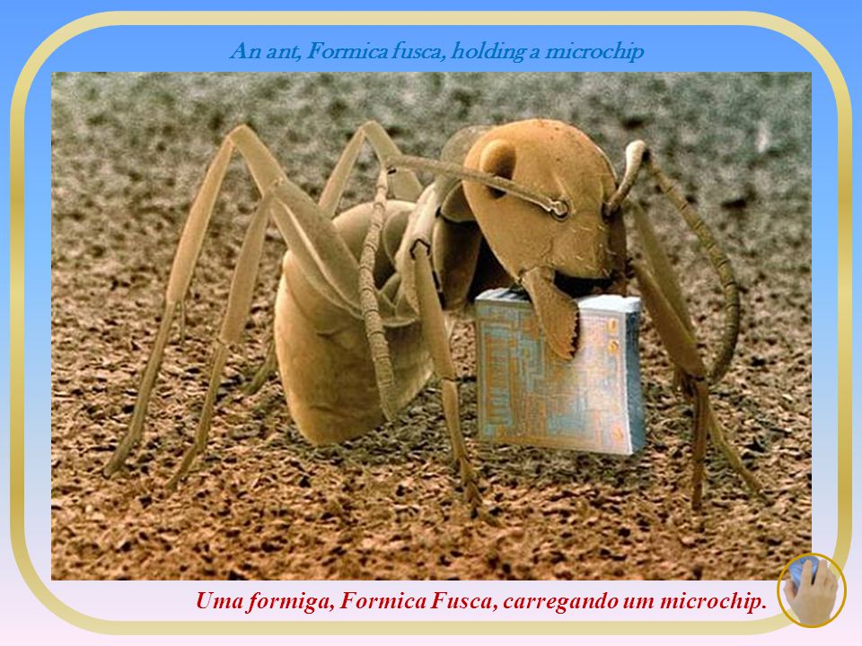 An ant, Formica fusca, holding a microchip Uma formiga, Formica Fusca, carregando um microchip.