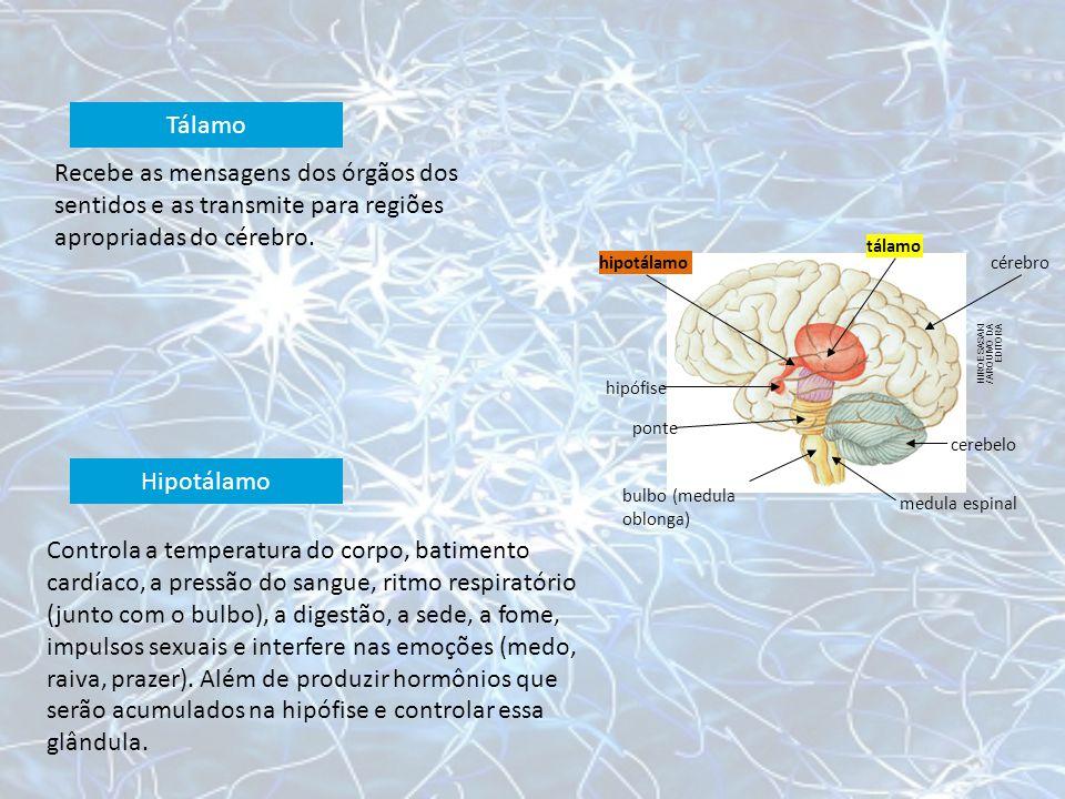 HIROE SASAKI / ARQUIVO DA EDITORA hipotálamo tálamo cérebro cerebelo medula espinal bulbo (medula oblonga) ponte hipófise Recebe as mensagens dos órgã