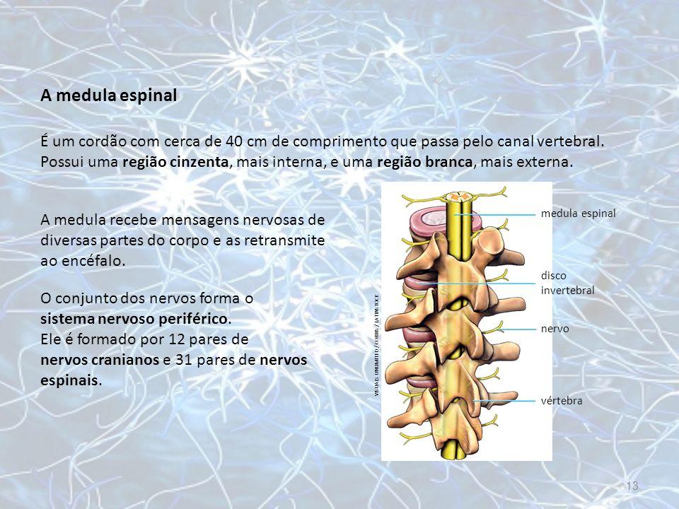 A medula espinal A medula recebe mensagens nervosas de diversas partes do corpo e as retransmite ao encéfalo. O conjunto dos nervos forma o sistema ne