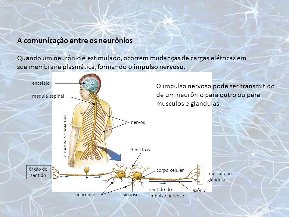 Quando o impulso nervoso chega à ponta do axônio, pequenas vesículas se abrem e despejam substâncias químicas no neurônio seguinte.