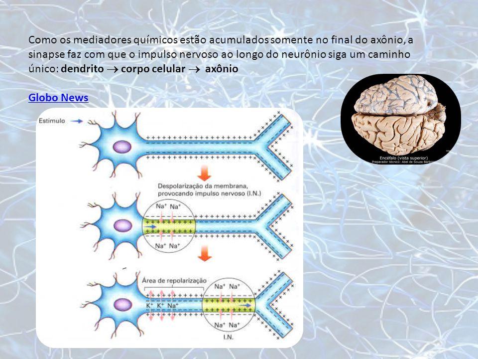 Como os mediadores químicos estão acumulados somente no final do axônio, a sinapse faz com que o impulso nervoso ao longo do neurônio siga um caminho