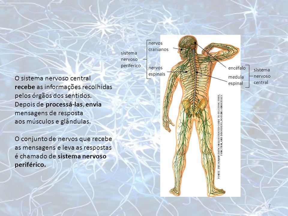 O sistema nervoso central recebe as informações recolhidas pelos órgãos dos sentidos. Depois de processá-las, envia mensagens de resposta aos músculos