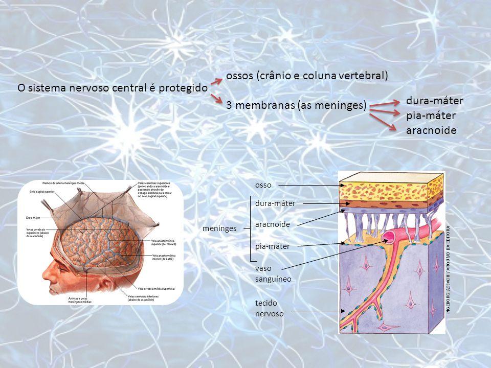 osso dura-máter aracnoide pia-máter vaso sanguíneo tecido nervoso INGEBORG ASBACH / ARQUIVO DA EDITORA O sistema nervoso central é protegido ossos (cr