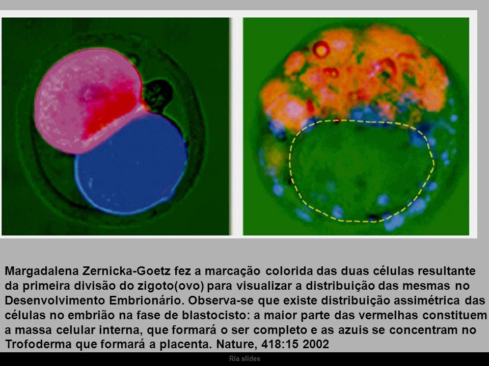 Ria slides Margadalena Zernicka-Goetz fez a marcação colorida das duas células resultante da primeira divisão do zigoto(ovo) para visualizar a distrib