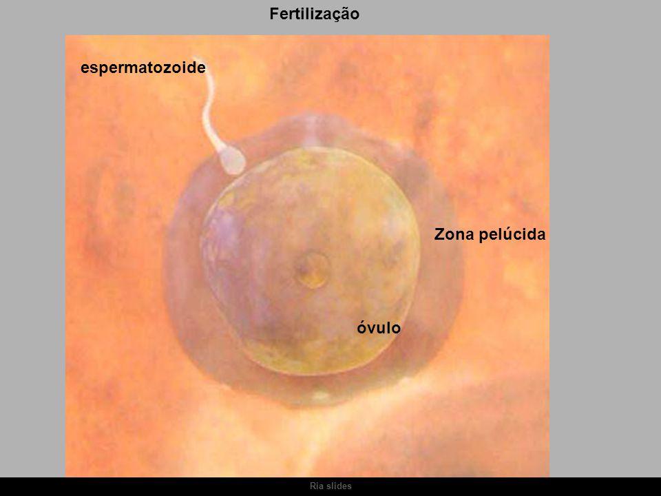 Ria slides Fertilização espermatozoide óvulo Zona pelúcida
