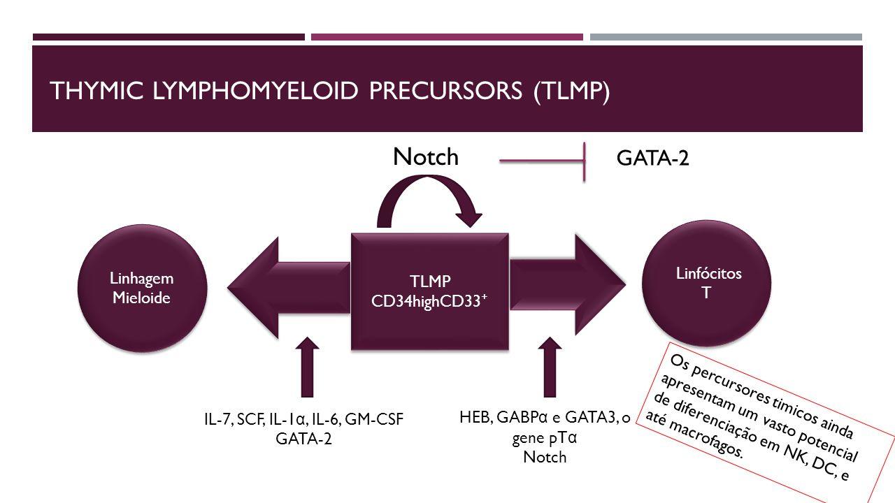 THYMIC LYMPHOMYELOID PRECURSORS (TLMP) TLMP CD34highCD33 ⁺ TLMP CD34highCD33 ⁺ Linhagem Mieloide Linhagem Mieloide Linfócitos T Linfócitos T IL-7, SCF, IL-1 α, IL-6, GM-CSF GATA-2 HEB, GABP α e GATA3, o gene pT α Notch GATA-2 Os percursores timicos ainda apresentam um vasto potencial de diferenciação em NK, DC, e até macrofagos.