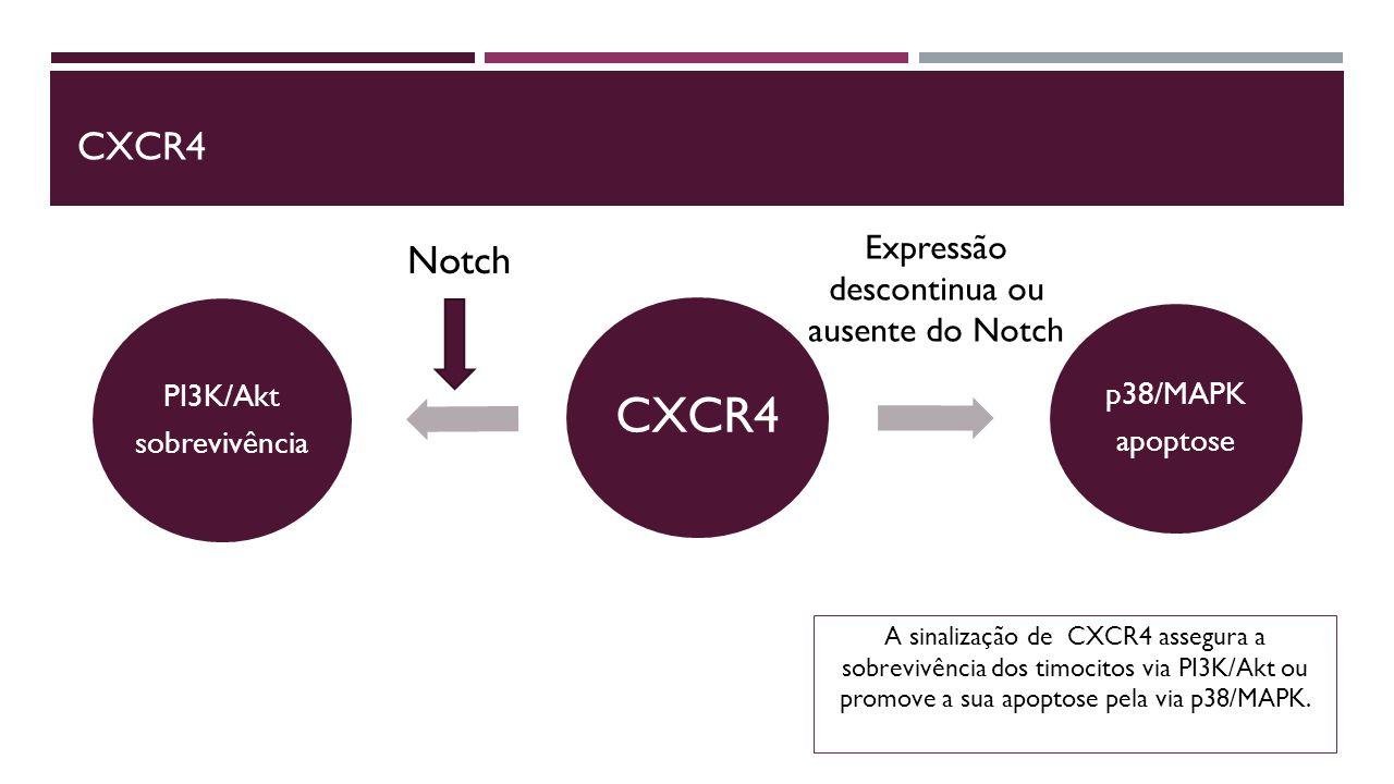 A sinalização de CXCR4 assegura a sobrevivência dos timocitos via PI3K/Akt ou promove a sua apoptose pela via p38/MAPK.