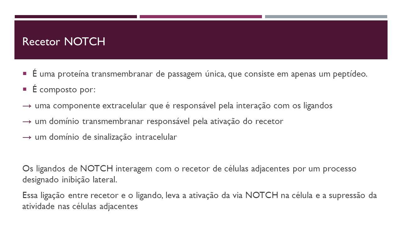 Recetor NOTCH  É uma proteína transmembranar de passagem única, que consiste em apenas um peptídeo.
