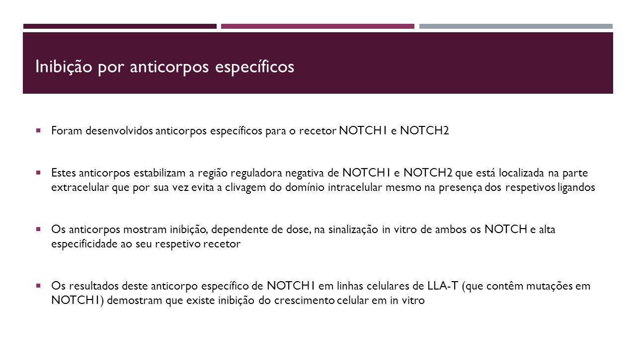 Inibição por anticorpos específicos  Foram desenvolvidos anticorpos específicos para o recetor NOTCH1 e NOTCH2  Estes anticorpos estabilizam a região reguladora negativa de NOTCH1 e NOTCH2 que está localizada na parte extracelular que por sua vez evita a clivagem do domínio intracelular mesmo na presença dos respetivos ligandos  Os anticorpos mostram inibição, dependente de dose, na sinalização in vitro de ambos os NOTCH e alta especificidade ao seu respetivo recetor  Os resultados deste anticorpo específico de NOTCH1 em linhas celulares de LLA-T (que contêm mutações em NOTCH1) demostram que existe inibição do crescimento celular em in vitro