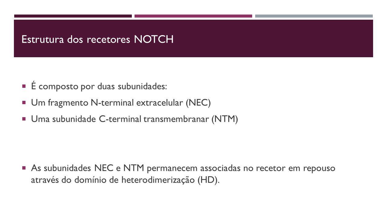 Estrutura dos recetores NOTCH  É composto por duas subunidades:  Um fragmento N-terminal extracelular (NEC)  Uma subunidade C-terminal transmembranar (NTM)  As subunidades NEC e NTM permanecem associadas no recetor em repouso através do domínio de heterodimerização (HD).
