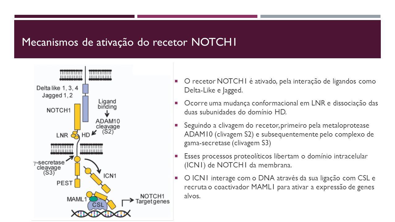 Mecanismos de ativação do recetor NOTCH1  O recetor NOTCH1 é ativado, pela interação de ligandos como Delta-Like e Jagged.