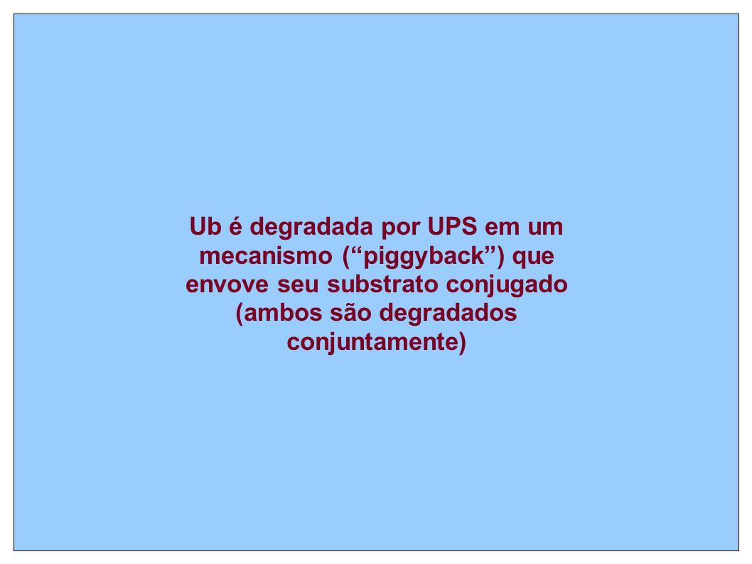 Ub é degradada por UPS em um mecanismo ( piggyback ) que envove seu substrato conjugado (ambos são degradados conjuntamente)