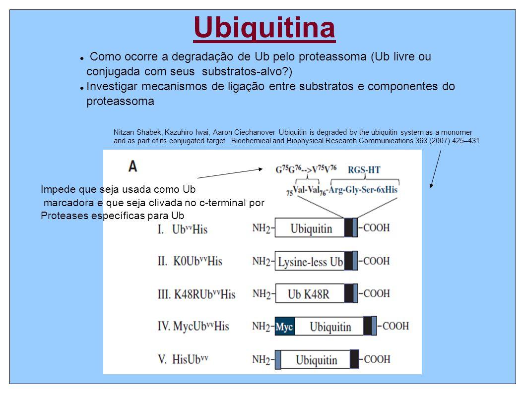Ubiquitina Como ocorre a degradação de Ub pelo proteassoma (Ub livre ou conjugada com seus substratos-alvo?) Investigar mecanismos de ligação entre substratos e componentes do proteassoma Impede que seja usada como Ub marcadora e que seja clivada no c-terminal por Proteases específicas para Ub Nitzan Shabek, Kazuhiro Iwai, Aaron Ciechanover Ubiquitin is degraded by the ubiquitin system as a monomer and as part of its conjugated target Biochemical and Biophysical Research Communications 363 (2007) 425–431