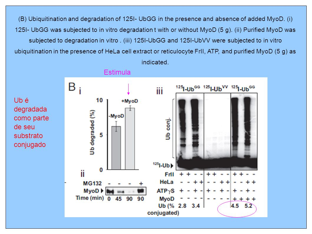 (B) Ubiquitination and degradation of 125I- UbGG in the presence and absence of added MyoD.