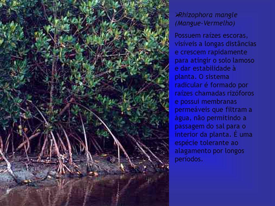  Rhizophora mangle (Mangue-Vermelho) Possuem raízes escoras, visíveis a longas distâncias e crescem rapidamente para atingir o solo lamoso e dar esta