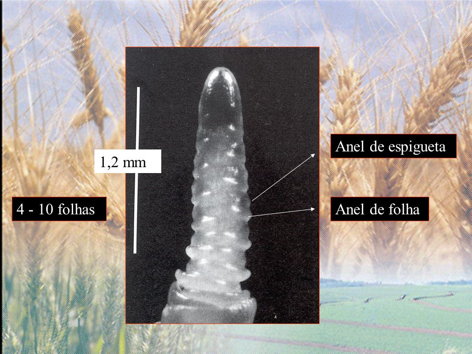 Anel de espigueta 1,2 mm 4 - 10 folhas