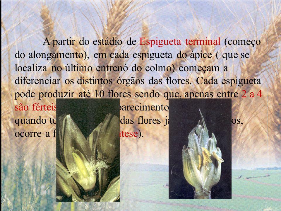 A partir do estádio de Espigueta terminal (começo do alongamento), em cada espigueta do ápice ( que se localiza no último entrenó do colmo) começam a diferenciar os distintos órgãos das flores.