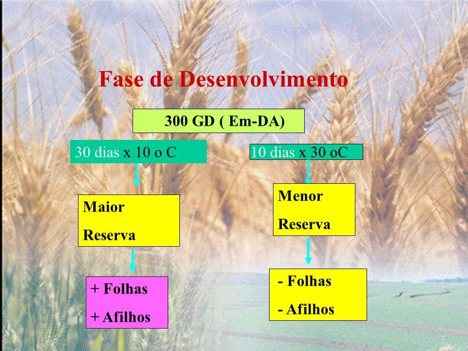 Fase de Desenvolvimento 300 GD ( Em-DA) 30 dias x 10 o C10 dias x 30 oC Maior Reserva Menor Reserva + Folhas + Afilhos - Folhas - Afilhos