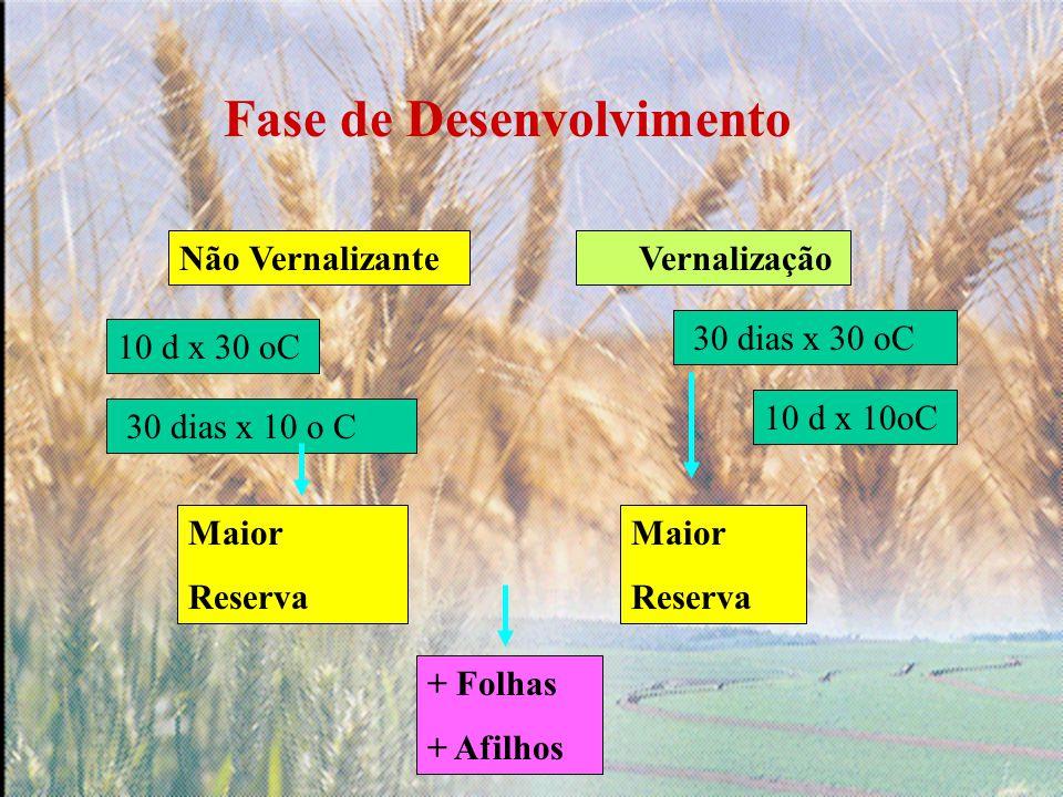 Fase de Desenvolvimento Vernalização 30 dias x 10 o C 30 dias x 30 oC Maior Reserva Maior Reserva + Folhas + Afilhos Não Vernalizante 10 d x 30 oC 10 d x 10oC