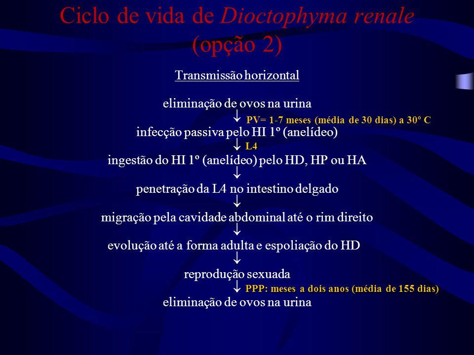 Ciclo de vida de Dioctophyma renale (opção 3) Transmissão horizontal eliminação de ovos na urina  infecção passiva pelo HI 1º (anelídeo)  ingestão do HI 1º (anelídeo) pelo HP (lagostim)  ingestão do HP (lagostim) pelo HI 2º (peixe ou sapo)  ingestão do HI 2º (peixe ou sapo [fígado]) pelo HD, HP ou HA  penetração da L4 no intestino delgado  migração pela cavidade abdominal até o rim direito e evolução até a forma adulta e espoliação do HD  reprodução sexuada  eliminação de ovos na urina L2 L4 PV= 1-7 meses (média de 30 dias) a 30º C PPP: meses a dois anos (média de 155 dias)