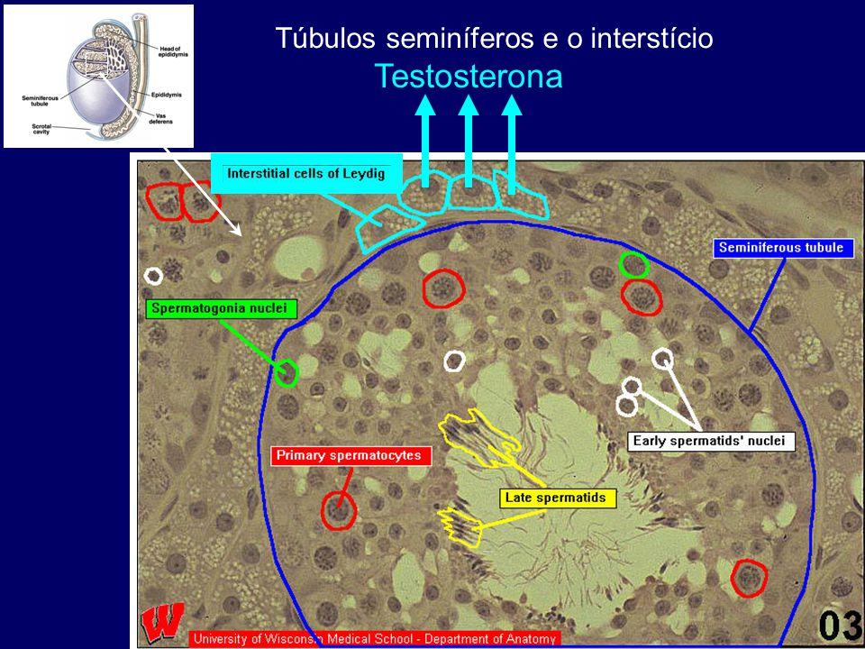 Testosterona Túbulos seminíferos e o interstício
