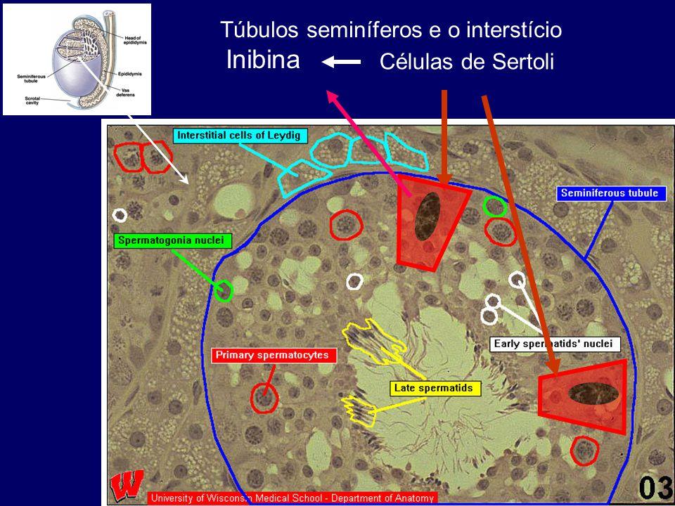 Células de Sertoli Inibina Túbulos seminíferos e o interstício
