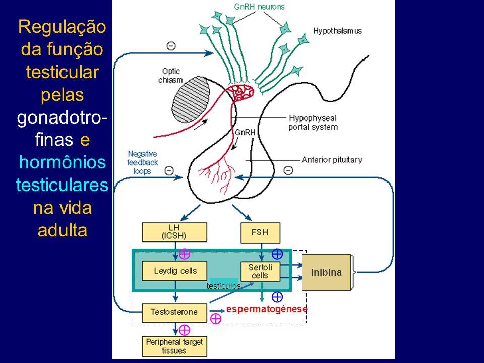 espermatogênese Inibina testículos     Regulação da função testicular pelas gonadotro- finas e hormônios testiculares na vida adulta