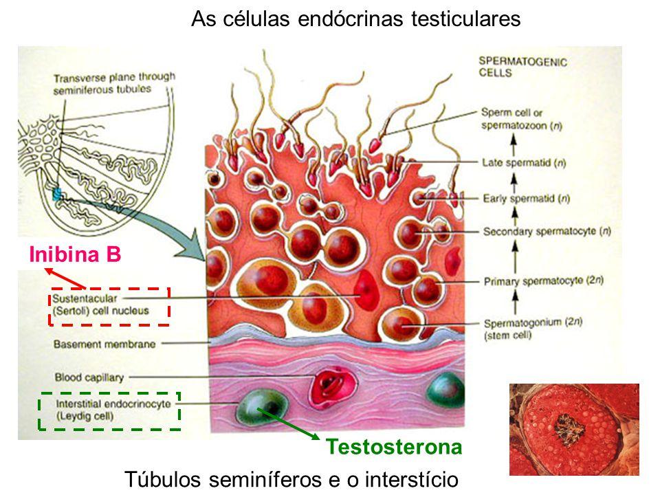 Inibina B Testosterona Túbulos seminíferos e o interstício As células endócrinas testiculares