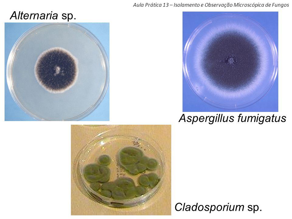 Aula Prática 13 – Isolamento e Observação Microscópica de Fungos Alternaria sp.