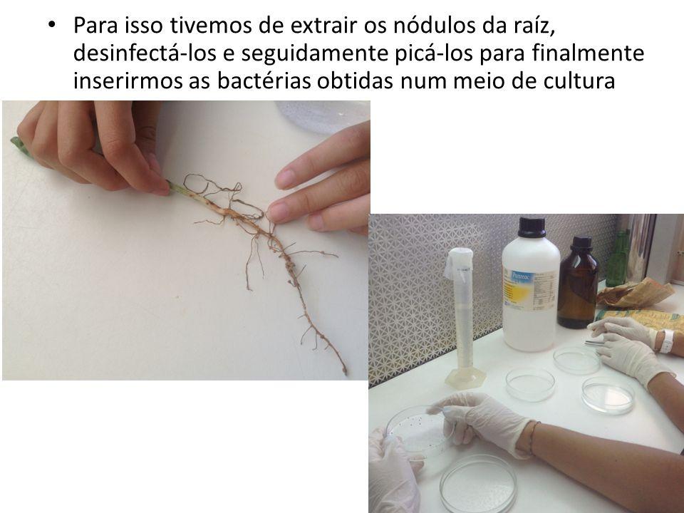 Para isso tivemos de extrair os nódulos da raíz, desinfectá-los e seguidamente picá-los para finalmente inserirmos as bactérias obtidas num meio de cultura