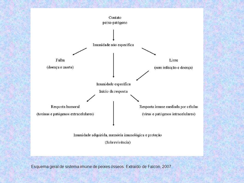 Esquema geral de sistema imune de peixes ósseos. Extraído de Falcon, 2007.