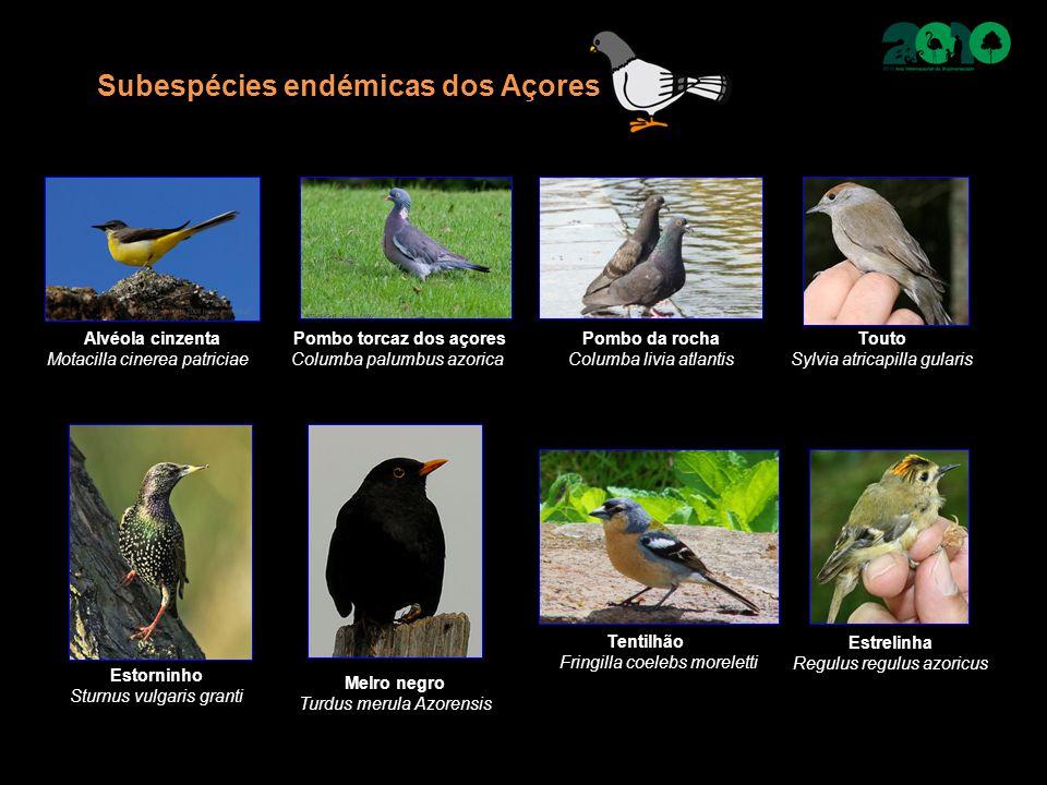 Subespécies endémicas dos Açores Alvéola cinzenta Motacilla cinerea patriciae Pombo torcaz dos açores Columba palumbus azorica Pombo da rocha Columba