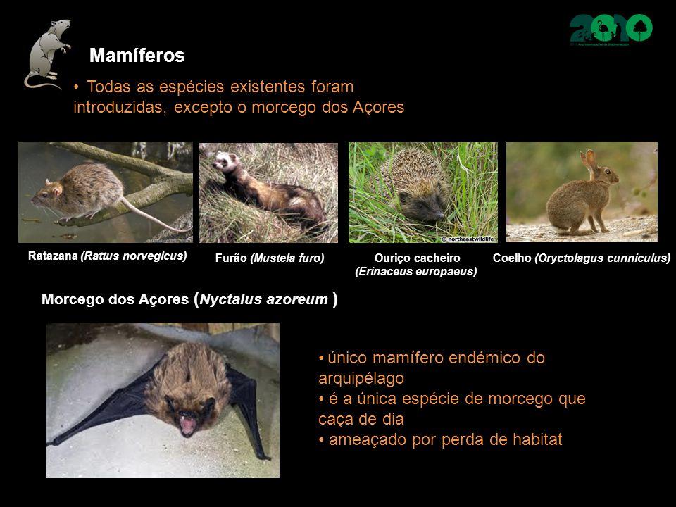 Morcego dos Açores ( Nyctalus azoreum ) único mamífero endémico do arquipélago é a única espécie de morcego que caça de dia ameaçado por perda de habi
