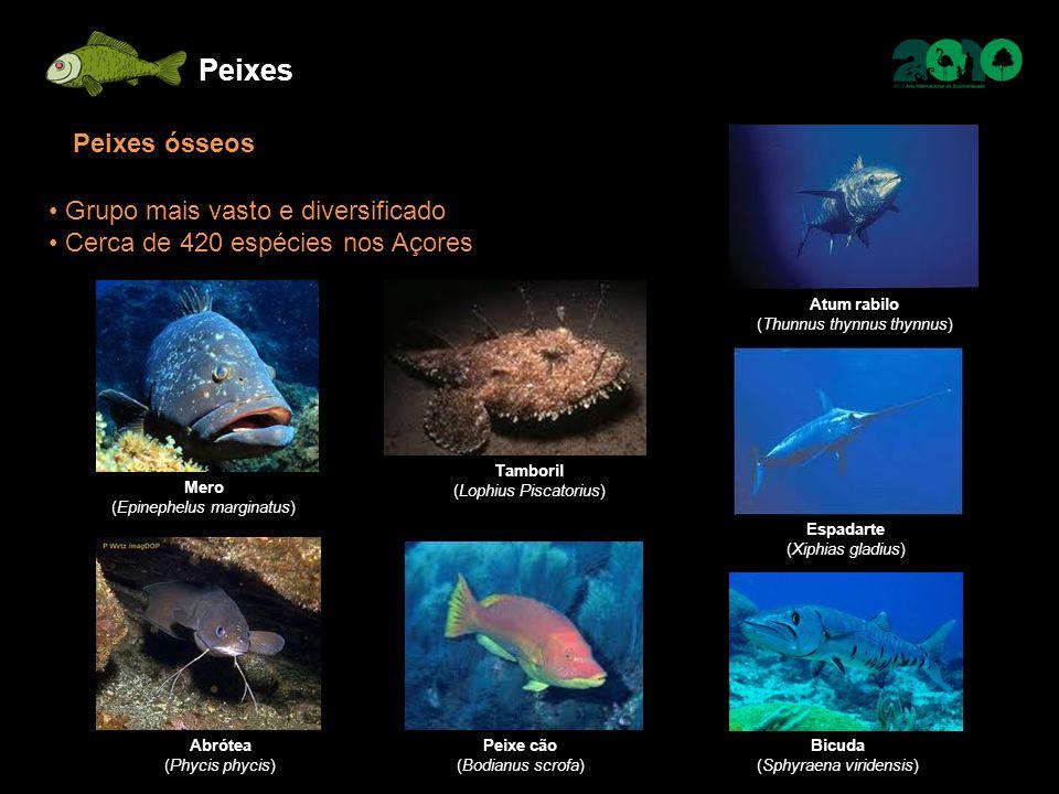 Peixes Peixes ósseos Grupo mais vasto e diversificado Cerca de 420 espécies nos Açores Mero (Epinephelus marginatus) Abrótea (Phycis phycis) Atum rabi