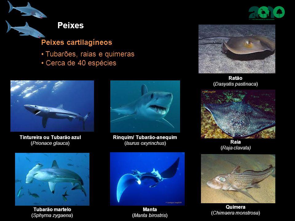 Peixes Peixes cartilagíneos Tubarões, raias e quimeras Cerca de 40 espécies Tintureira ou Tubarão azul (Prionace glauca) Ratão (Dasyatis pastinaca) Raia (Raja clavata) Tubarão martelo (Sphyrna zygaena) Quimera (Chimaera monstrosa) Rinquim/ Tubarão-anequim (Isurus oxyrinchus) Manta (Manta birostris)