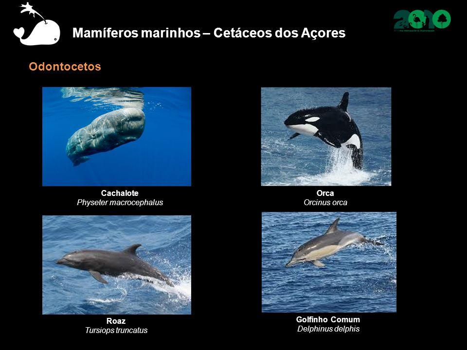 Mamíferos marinhos – Cetáceos dos Açores Odontocetos Cachalote Physeter macrocephalus Orca Orcinus orca Golfinho Comum Delphinus delphis Roaz Tursiops truncatus