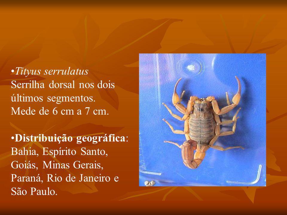 Tityus serrulatus Serrilha dorsal nos dois últimos segmentos.