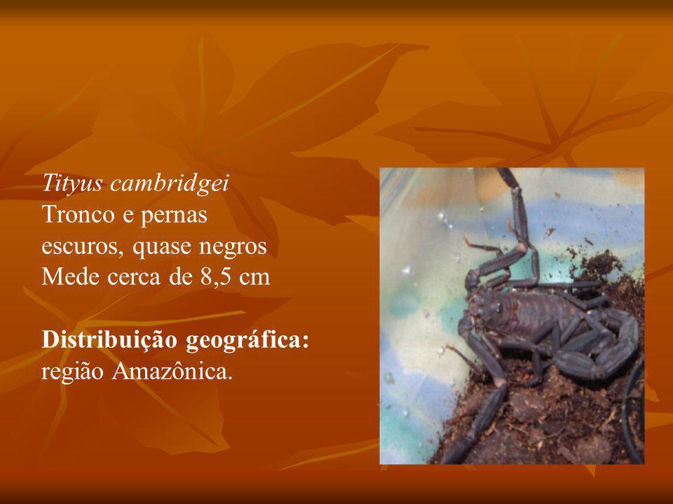 Tityus cambridgei Tronco e pernas escuros, quase negros Mede cerca de 8,5 cm Distribuição geográfica: região Amazônica.